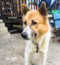 Bangkeaw Thai dog is sitting