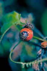 Red shouldered stink bug, Thyanta custator custator