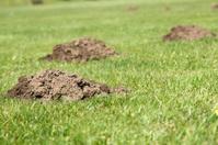 Three Molehills on the lawn