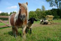 Pony with blackface sheep
