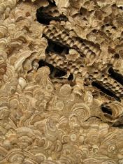Wasps' nest