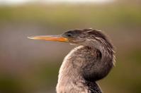 Anhinga bird in Florida Everglades NP