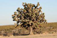 Lonely giant Joshua tree.