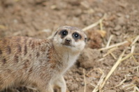 Curious Meerkat