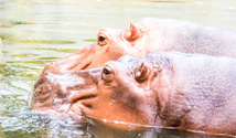 Two hippopotamus in the river