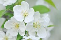 White Crabapple Flowers