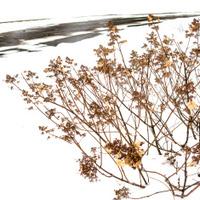 hydrangeas and snow