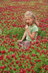 Candy Crimson Clover