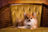 Royal Pomeranian