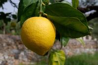 single fresh lemon growing on tree