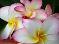 Rainbow Plumeria Blossoms