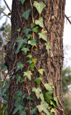Tree trunk bark crust ivy trapped photo - Stock image