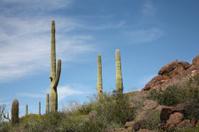 Saguaros Standing Tall