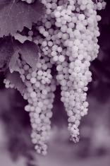 Grapes at vineyard