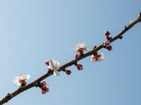 Apricot branch on blue sky