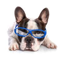 French bulldog in blue glasses