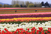 Tulips being picked for bouquets