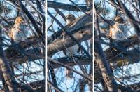 Cooper's Hawk in a Tree