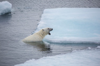 Polar Bear Yawning in Arctic Ocean