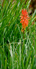 Red Kniphofia flower outside of Bogota Colombia