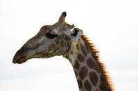 African Giraffe Profile