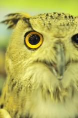uropean eagle owl