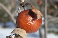 Single Winter Apple