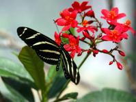 Stripe Butterfly Red Flower
