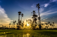 Silhouette sugar palm tree