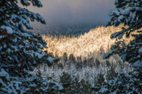Snowy forest limelight