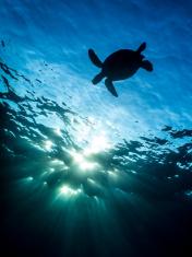 Hawaiian Sea Turtle Sillouette