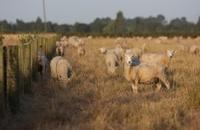 Grazing Sheep at sunset