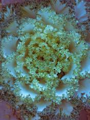 Ornamental Cabbage, Brassica oleracea var. capitata