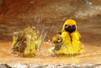 Two small brids taking a bath