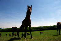 Horses in a summer meadow