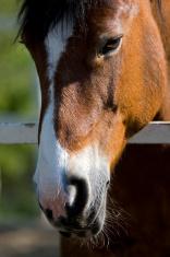 Swedish Ardenner Horse