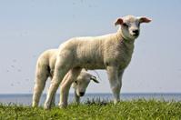 Cute little lambs on the dyke