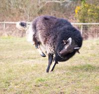black ram prancing