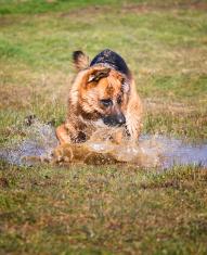 german shepherd in puddle