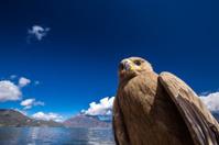 Big bird on Lugu lake