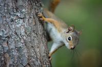 North American Squirrel climbing on tree in backyard