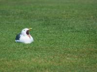Yawning Sea Gull
