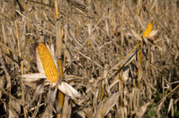 Ripe Corn on the cob in sunlight