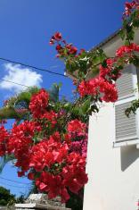 Bougainvillea, Sunbury plantation, Barbados