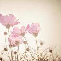 soft focus of cosmos flowers