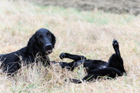 Two dogs frolic in the meadow