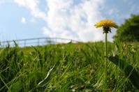 Last dandelion of the spring