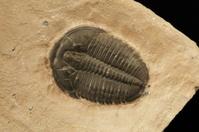 Trilobite: Elrathia Kingi