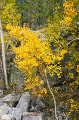 Aspen Trees Fall Foliage