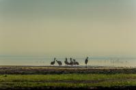 Pelicans at Lake Nakuru